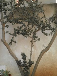 Olive Tree Cross