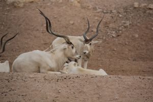 Oryx Relatives
