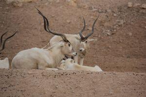 Oryx Relatives