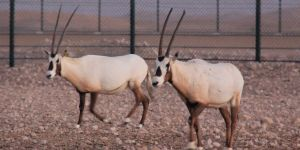 Arabian Oryx at Preserve