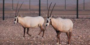 Arabian Oryx at Preserve